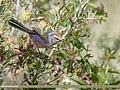 White-browed Tit Warbler (Leptopoecile sophiae) (46751858122).jpg
