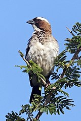 White-browed sparrow-weaver (Plocepasser mahali pectoralis) male.jpg