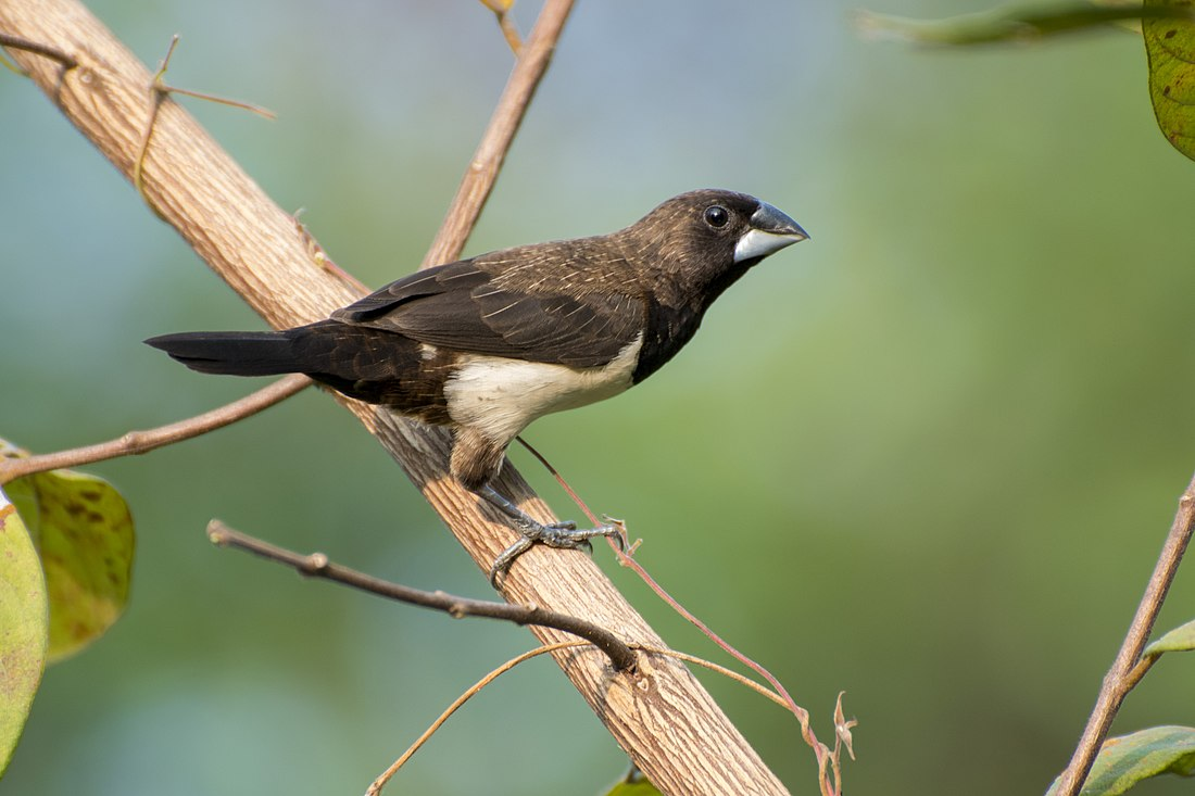White-rumped Munia 13.jpg