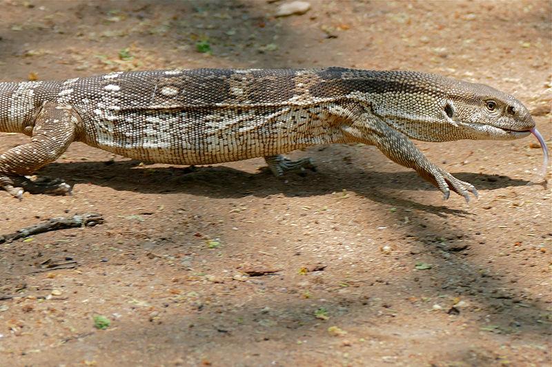 File:White-throated Monitor Lizard (Varanus albigularis ...