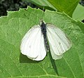 White Butterfly of the Pieridae family - geograph.org.uk - 1403625.jpg