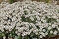 White Everlasting (Syncarpha argyropsis) (32801793052).jpg
