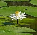 White Waterlily (Nymphaea lotus) (33436811611).jpg