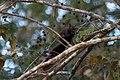 Wiewiórka czerwonoogonowa.jpg
