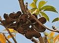 Wild Almond (Sterculia foetida) in Hyderabad W IMG 4756.jpg