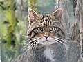 Wildcat at the Highland Wildlife Park - geograph.org.uk - 1749276.jpg
