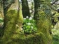 Wood-sorrel (Oxalis acetosella) - geograph.org.uk - 1282600.jpg