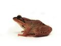 Wood Frog (Rana sylvatica) (6236351381).png