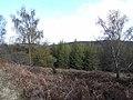 Woodland above Holystone Burn - geograph.org.uk - 1264307.jpg