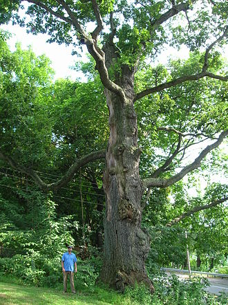 Haverhill, Massachusetts - Worshipping Oak, August 2012