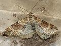 Xanthorhoe spadicearia - Red twin-spot carpet - Ларенция коричневая (40918346492).jpg