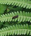 Xylota segnis - Flickr - S. Rae (1).jpg
