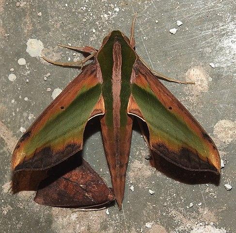 File:Yam Hawkmoth Pergesa acteus by Dr  Raju Kasambe
