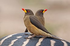 Yellow-billed oxpeckers (Buphagus africanus africanus) on zebra.jpg