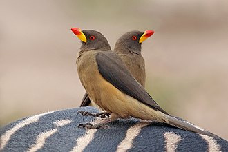 Oxpecker - Yellow-billed oxpeckers Buphagus africanus africanus on a zebra in Senegal