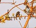 Yellow-rumped warbler (5799906328).jpg
