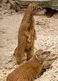 Yellow Mongoose 2 (7110694819).jpg
