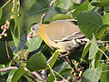 Yellow footed Pigeon.JPG