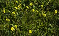 Yellow wildflowers on Robben Island.jpg