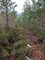 Young pines, Allt nan Cùileach - geograph.org.uk - 318830.jpg