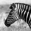 Zebra In Black And White (234861291).jpeg