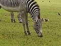 Zebra grazing in Marwell Zoological Park.jpg