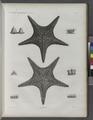 Zoologie. Echinodermes. Astéries (NYPL b14212718-1268608).tiff