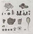 Zoologie. Polypes. Polypes corticaux (NYPL b14212718-1268619).jpg