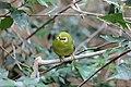 Zosterops poliogastrus kikuyuensis - Tiergarten Schönbrunn 2.jpg