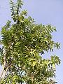 """Pala Tree"".jpg"