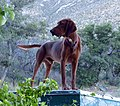 'Red'......Houndog of distinction - Flickr - gailhampshire.jpg