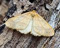 (1933) Scarce Umber (Agriopis aurantiaria) (15505419917).jpg