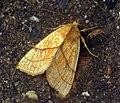 (2271) Orange Sallow (Xanthia citrago) (6227053453).jpg