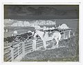 (A man ties the tether of a horse to the wooden frame of a sheep pen on a coastal farm) (AM 77425-2).jpg