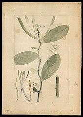 (Orchidea)
