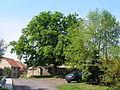 Černouček, strom.JPG