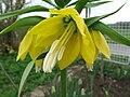 Žlutý hřebčík (2).jpg