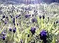 Σταφυλλάκι δίπλα στο Ρέμα του Κοκκιναρά - panoramio (1).jpg