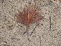 Веточка сосны обыкновенной с бурыми высохшими иголками на фоне песка.JPG