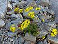 Горные цветы - panoramio.jpg