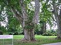 Древняя секвоя. Ancient Sequoia. Fénykép Victor Belousov - panoramio.jpg