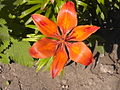 Лилия оранжевая.JPG