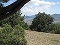 Можжеве́льник высокий (лат. Juniperus excelsa) на склонах Перчема.jpg