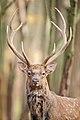 Портрет оленя.jpg