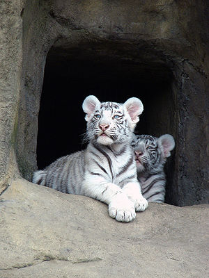 Little tigers albinos in the Moscow zoo