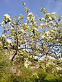Яблоня в цвету - panoramio.jpg