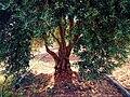 احدى الاشجار في قرية تل الناقة.jpg