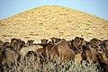 شترها در کنار آب آنبار (یخچال) کاروانسرای دیر گچین استان قم در انتظار و صف آب.jpg