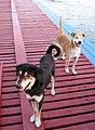 หมาวัด ที่ท่าน้ำ - panoramio.jpg
