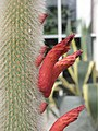 仙人掌-白閃 Cleistocactus brookei -英格蘭 Wisley Gardens, England- (9207602326).jpg
